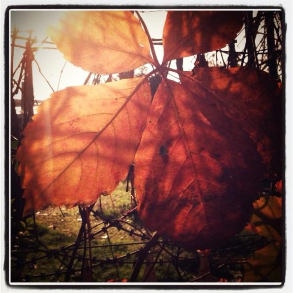 leaf in the sun