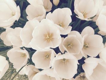 hello tulips